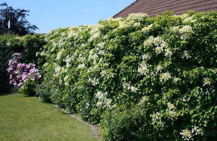 Piante rampicanti resistenti al freddo per Terrazzi e Giardini